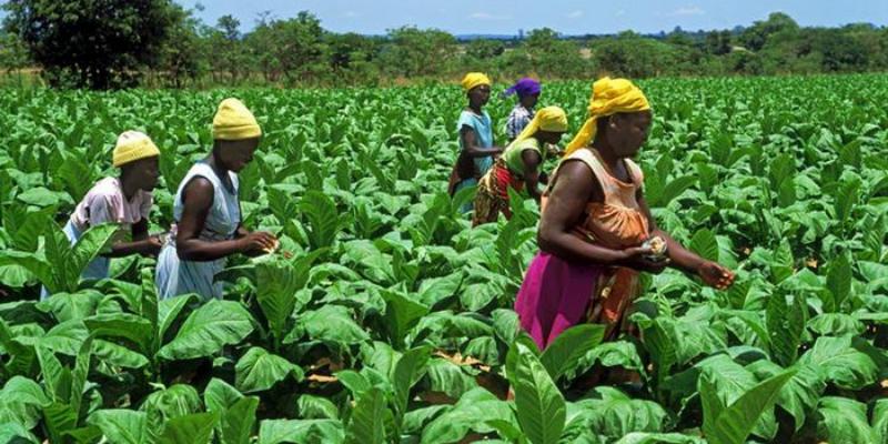 Zimbabwe Take Steps to Value-Add Its Tobacco