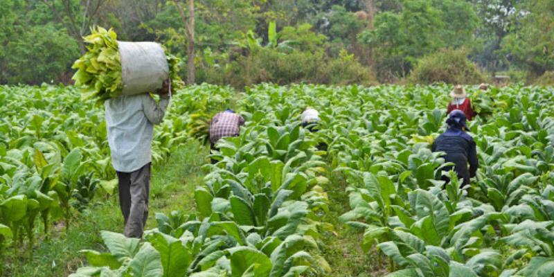 Tobacco farmers seek withdraw of COTPA Amendment Bill
