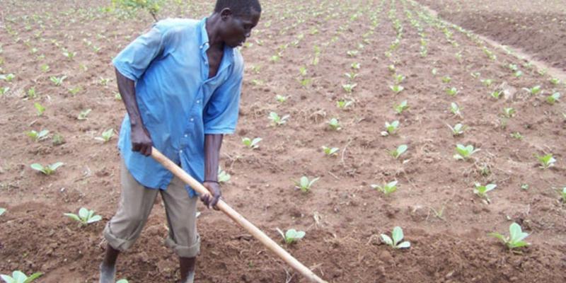 Uganda: 800 tobacco farmers demand Shs9b arrears