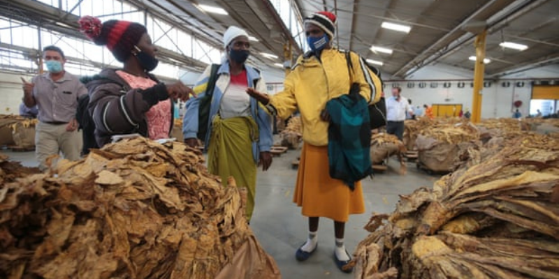 Growing pains: Zimbabwe's female tobacco farmers struggle to compete
