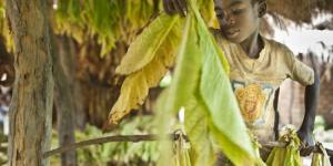 Afrique : deux cigarettiers trainés en justice pour esclavage moderne