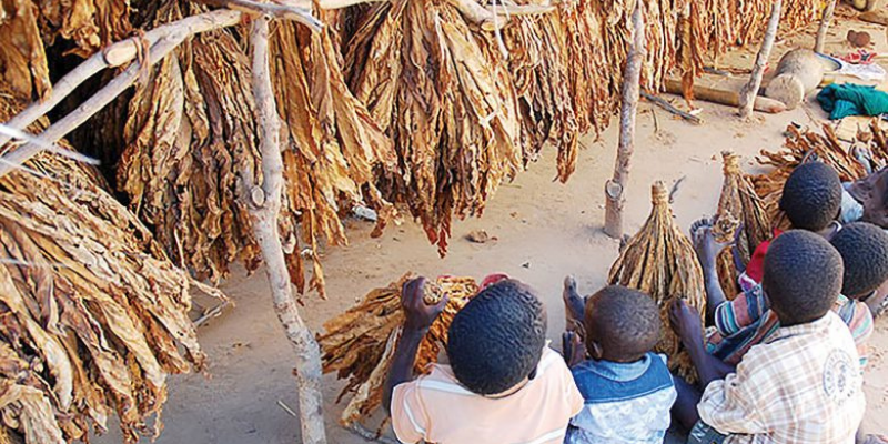 Opinion: Looking away will not end child labor in tobacco fields